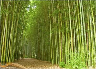 ทางเดินป่าไผ่