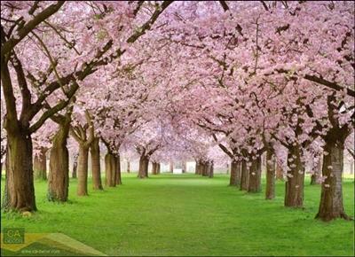 อุโมงค์ต้นไม้สีชมพู