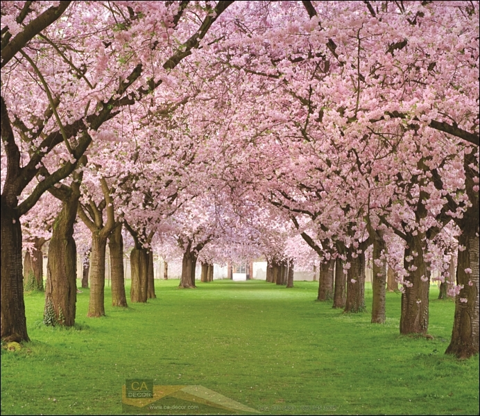 ภาพวิวสำเร็จรูป ภาพซากุระ cherry Blossom